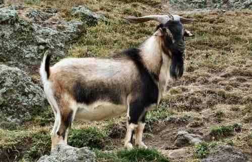 Weekly Mega Sale - 25% off Goat Horns